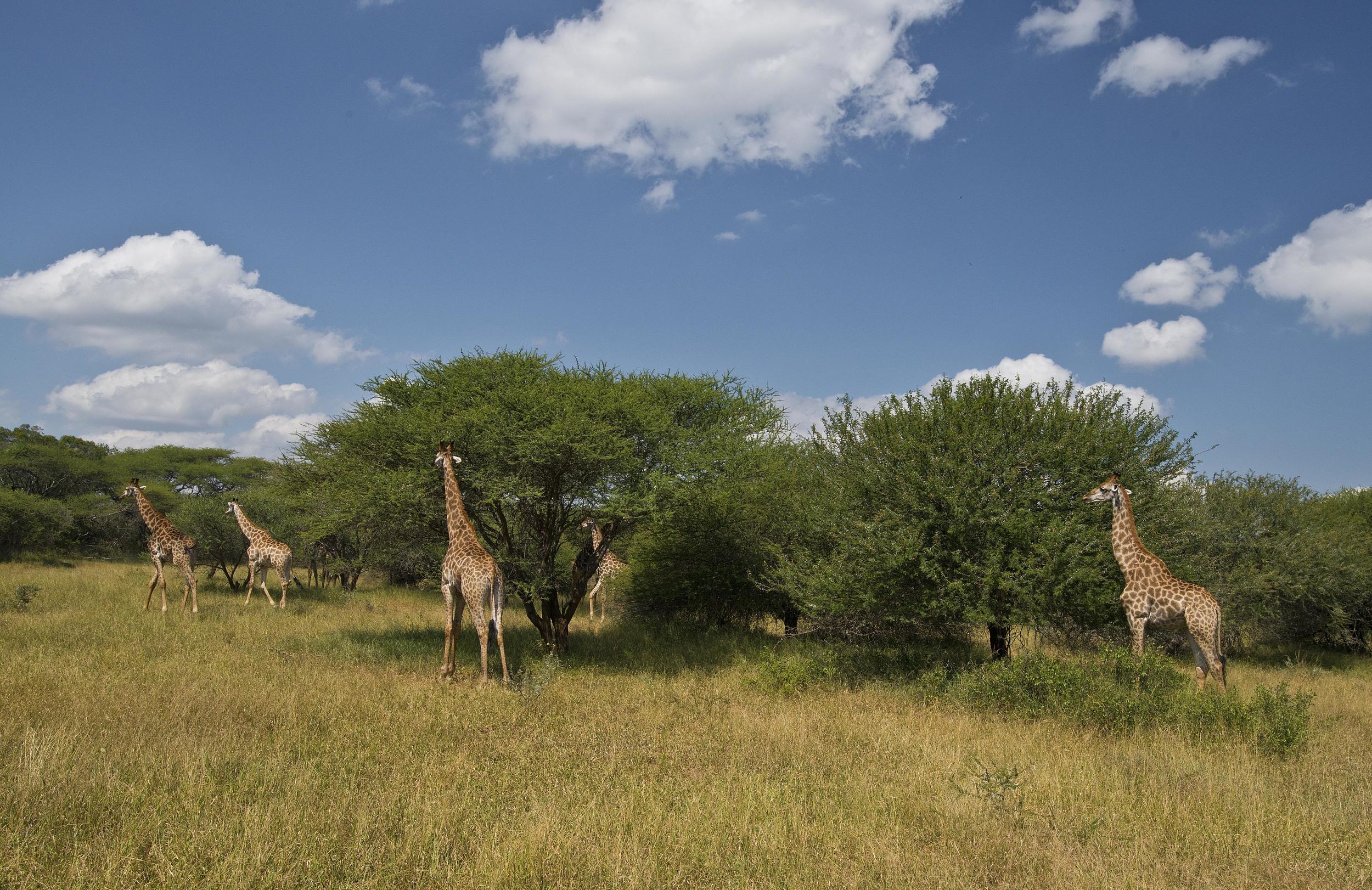 130420_DSC3896 Giraffe Herd Feed on Acacia Trees.jpg