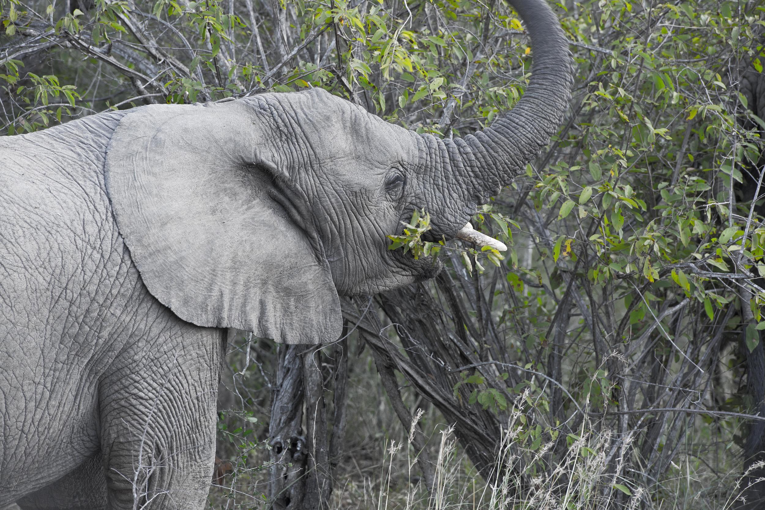 130420_DSC3929 Grazing Elephant.jpg