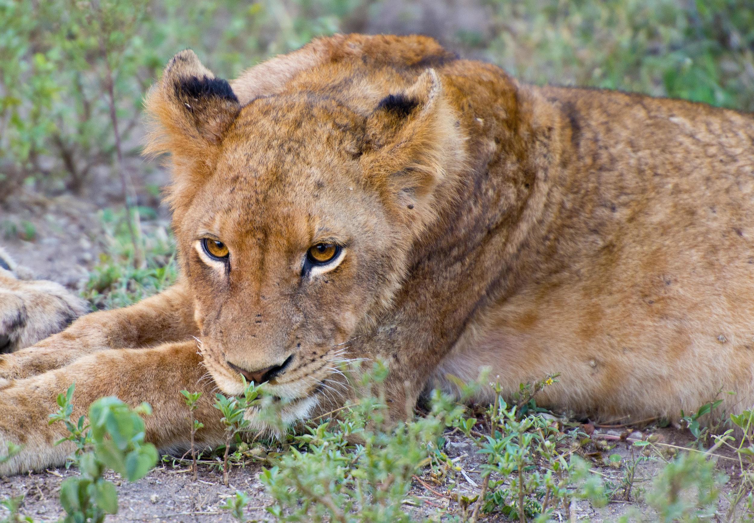 130420_DSC3966 Lion Intently Staring.jpg