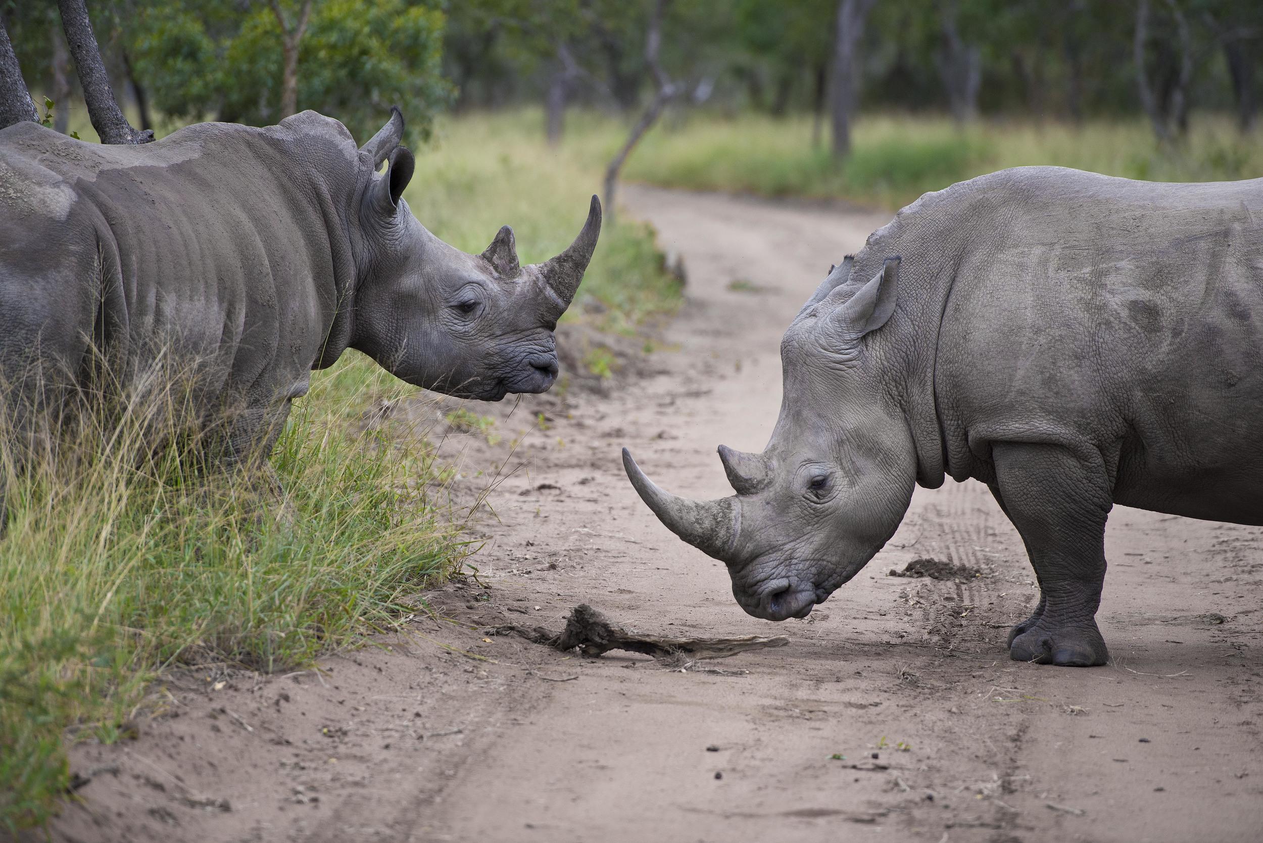 130420_DSC4017 Opposing Rhinos.jpg