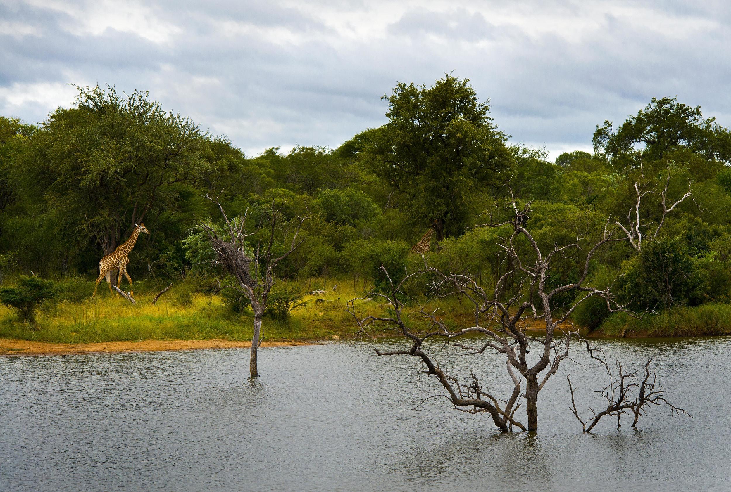 130420_DSC4032 Giraffe Grazing by Pond.jpg
