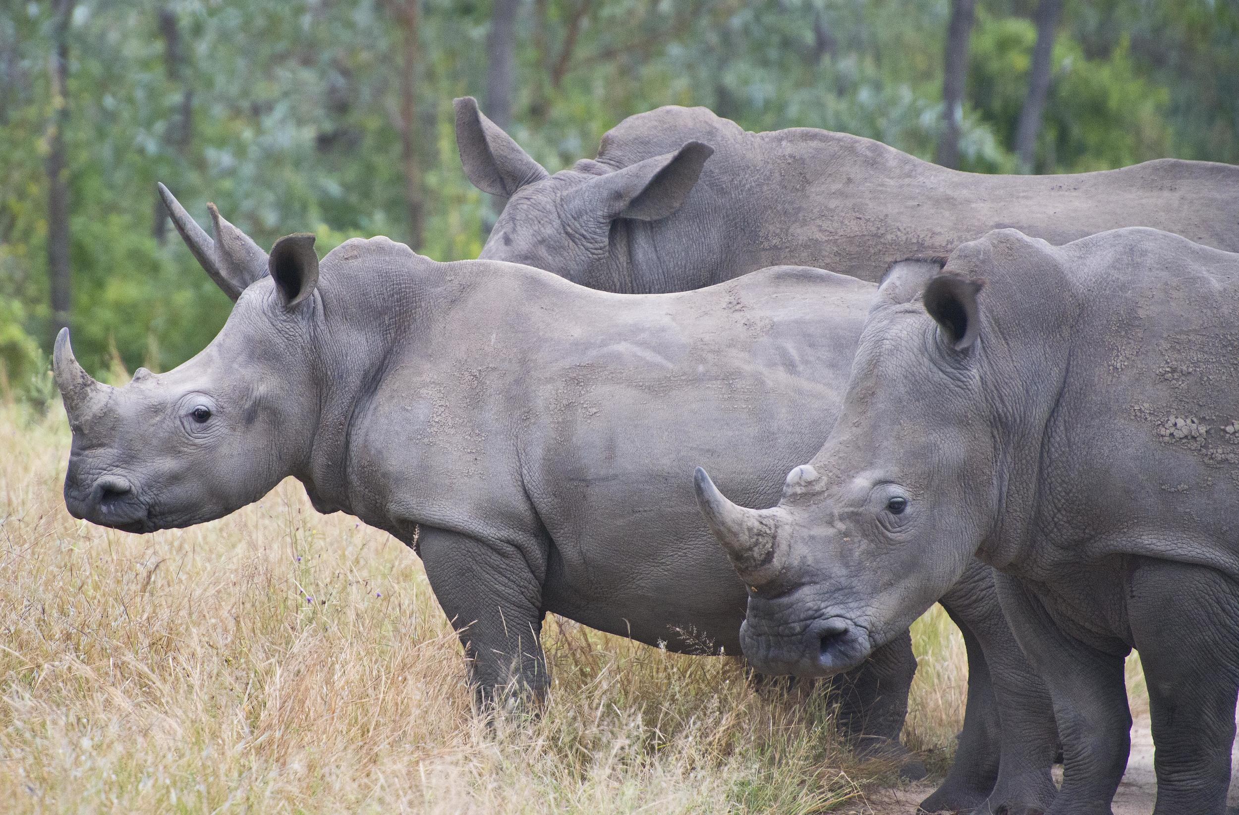 130420_DSC4169 Rhino.jpg