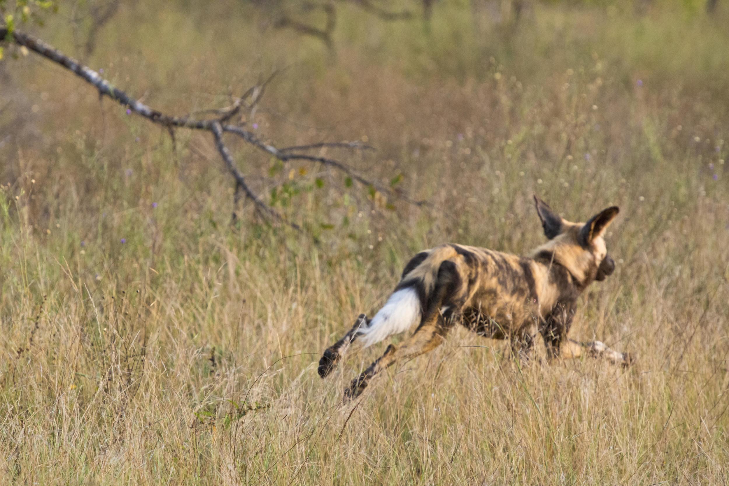 130420_DSC4217 Running Wild Dog.jpg