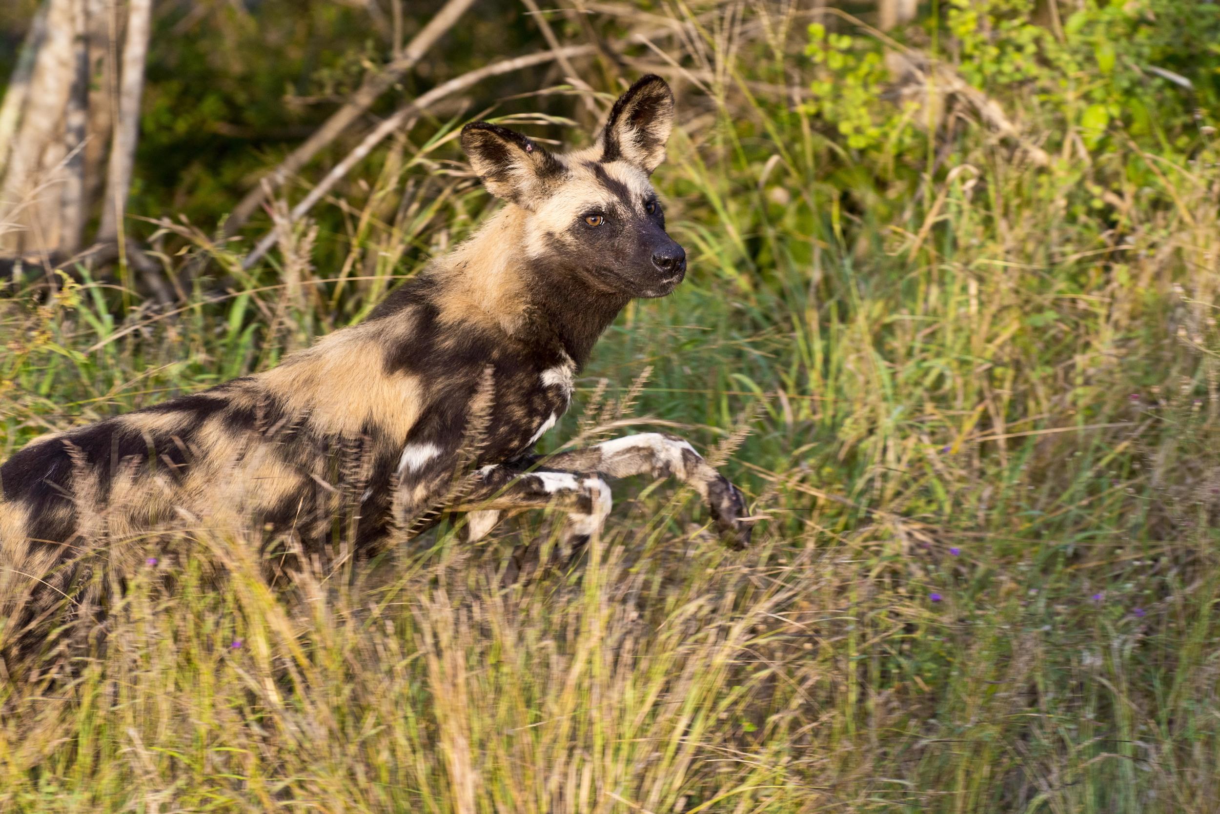 130420_DSC4312 Wild Dog on the Hunt.jpg