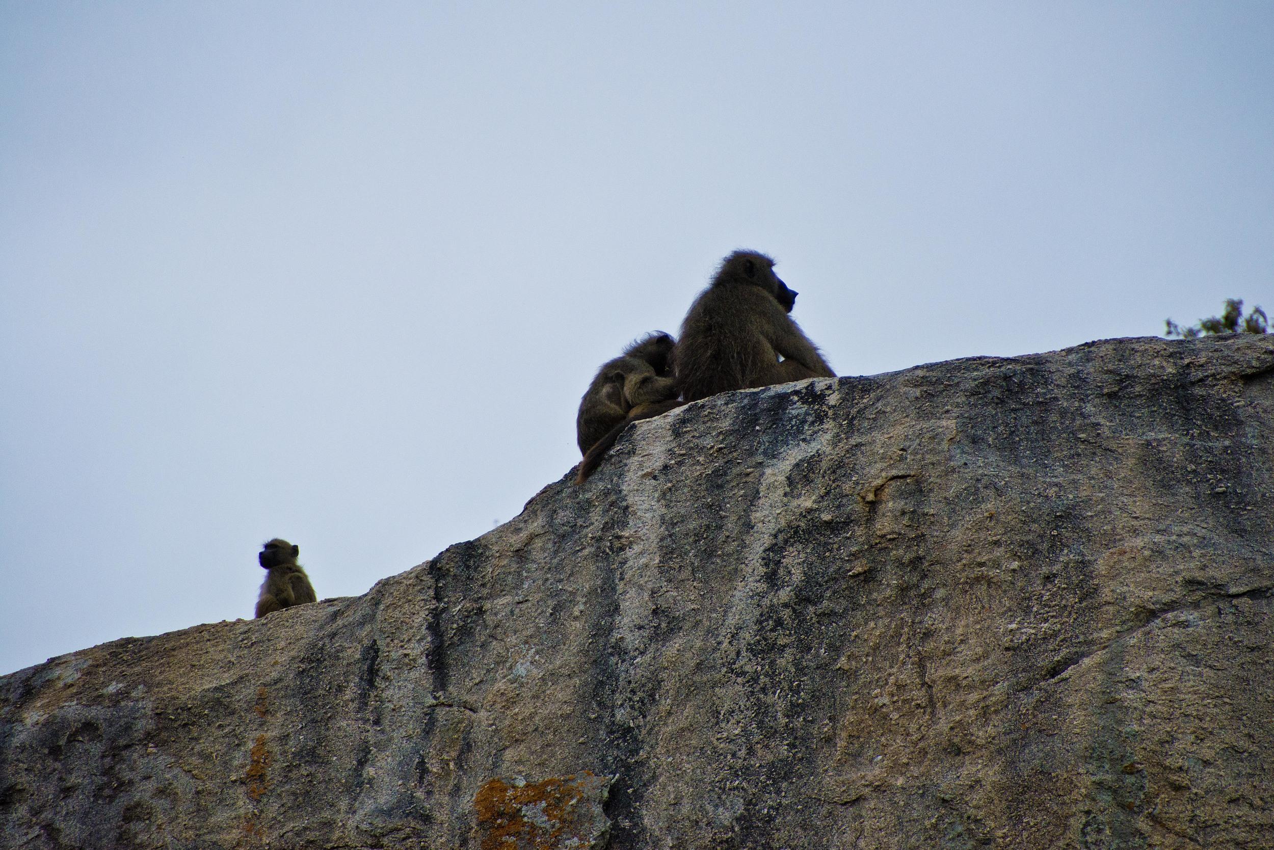 130420_DSC4151 Baboons on Rock.jpg
