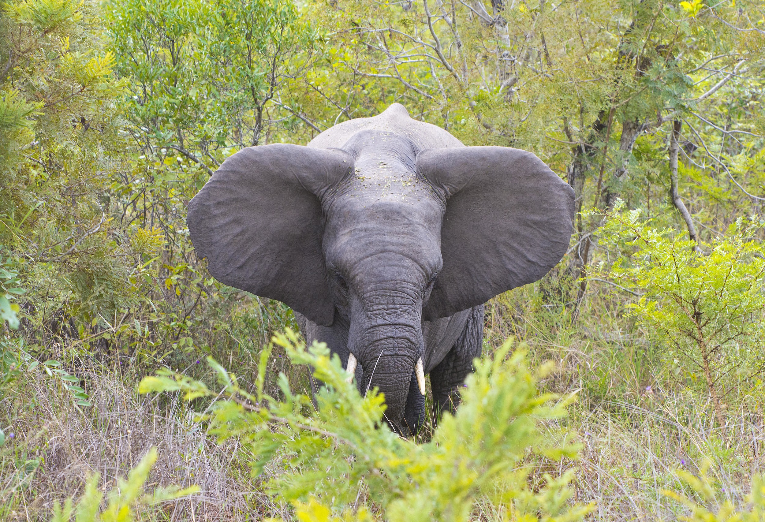 130420_DSC4328 Elephant with Ears Out_1.jpg