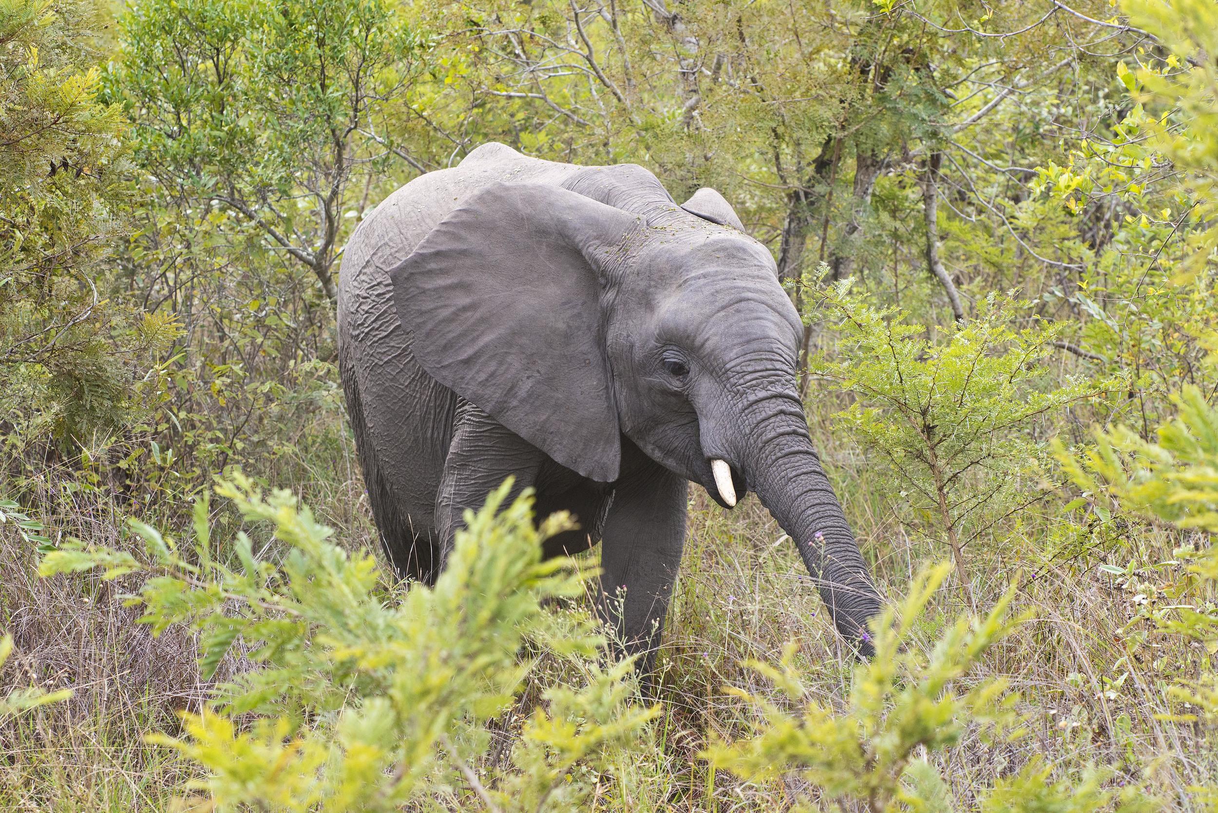 130420_DSC4332 Elephant Among the Acacia.jpg