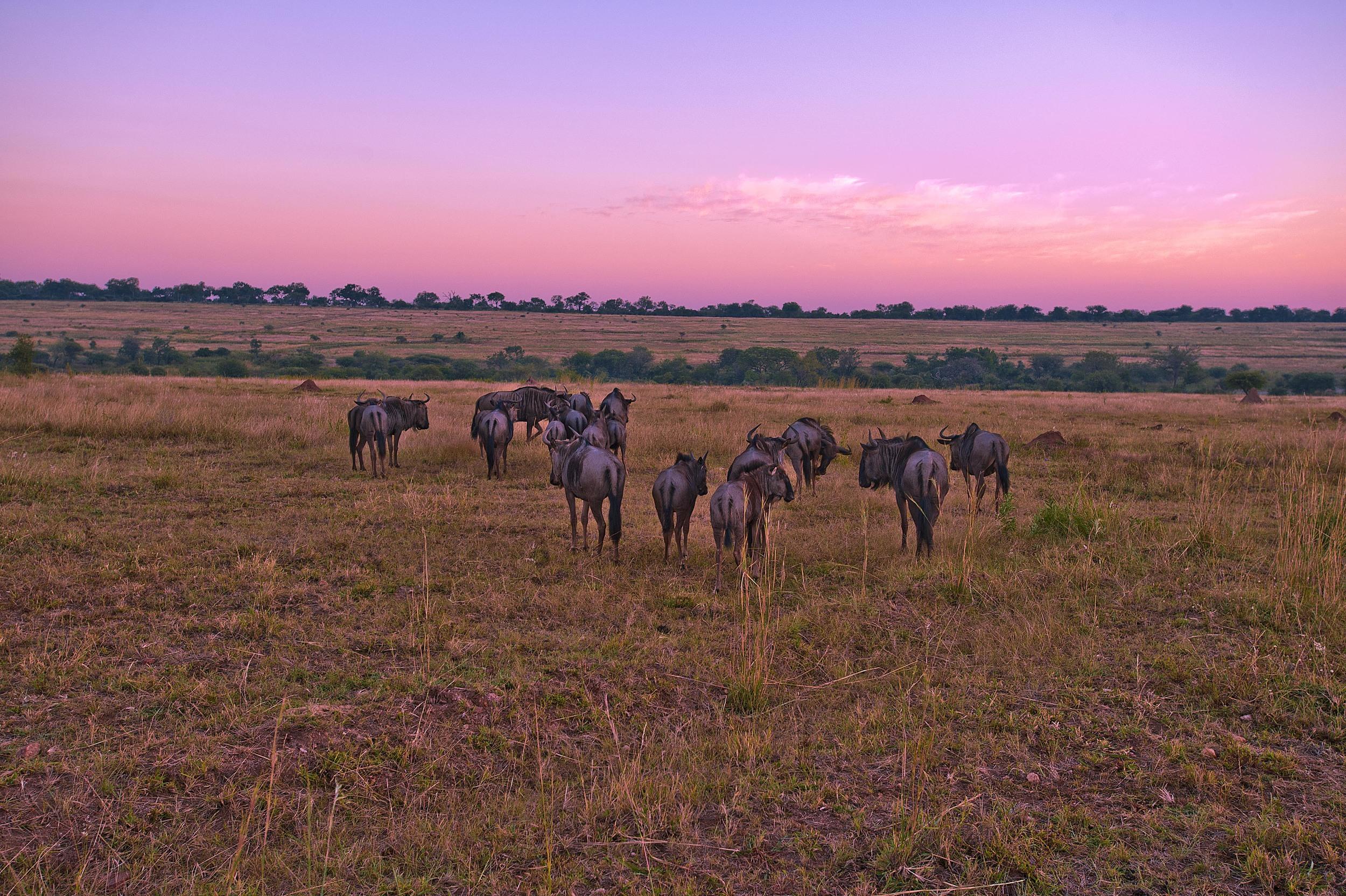 130420_DSC4351-1 Wildebeest at Sunset.jpg