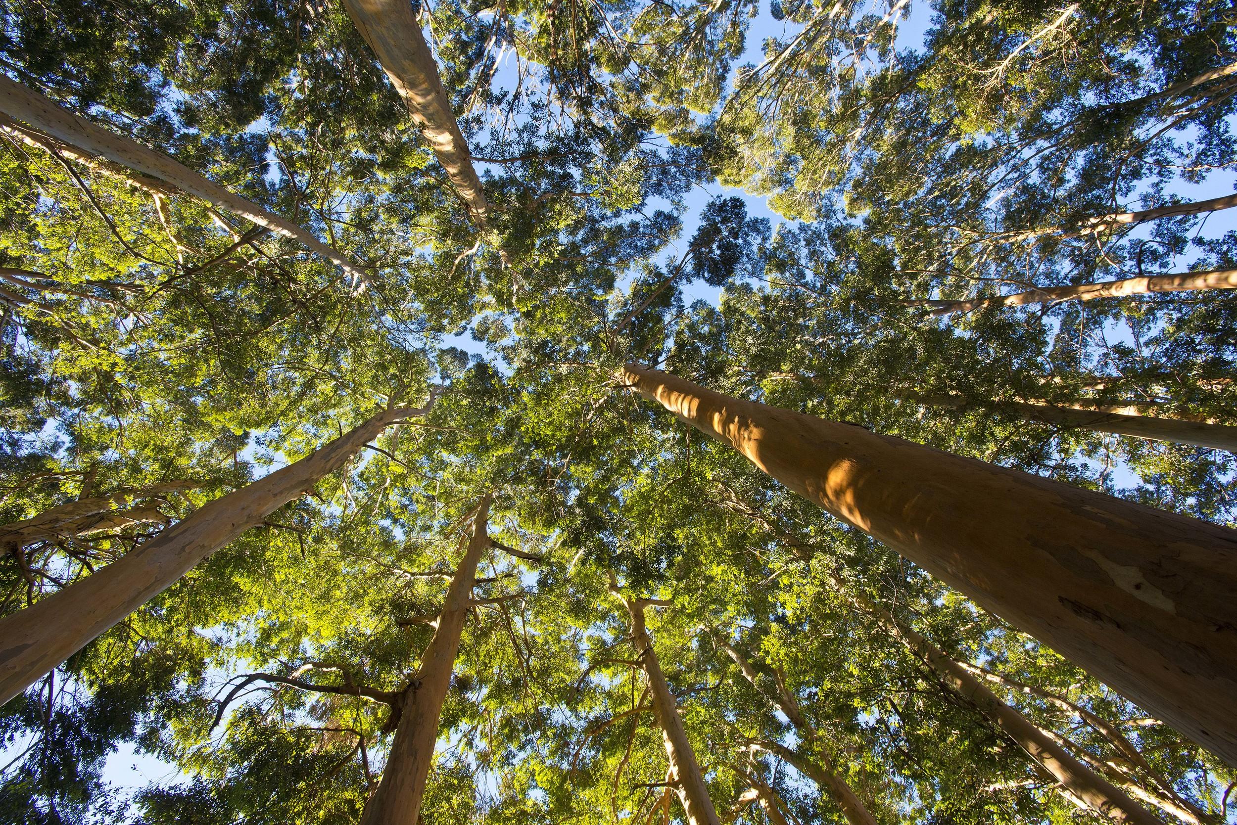 130420_DSC2785 Eucalyptus forrest near Cape Town_1.jpg