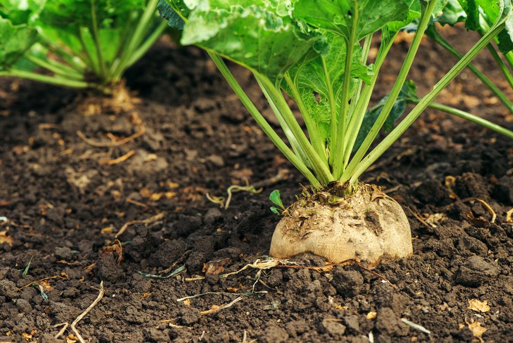 Sugar Beets in Soil on Farm.jpg