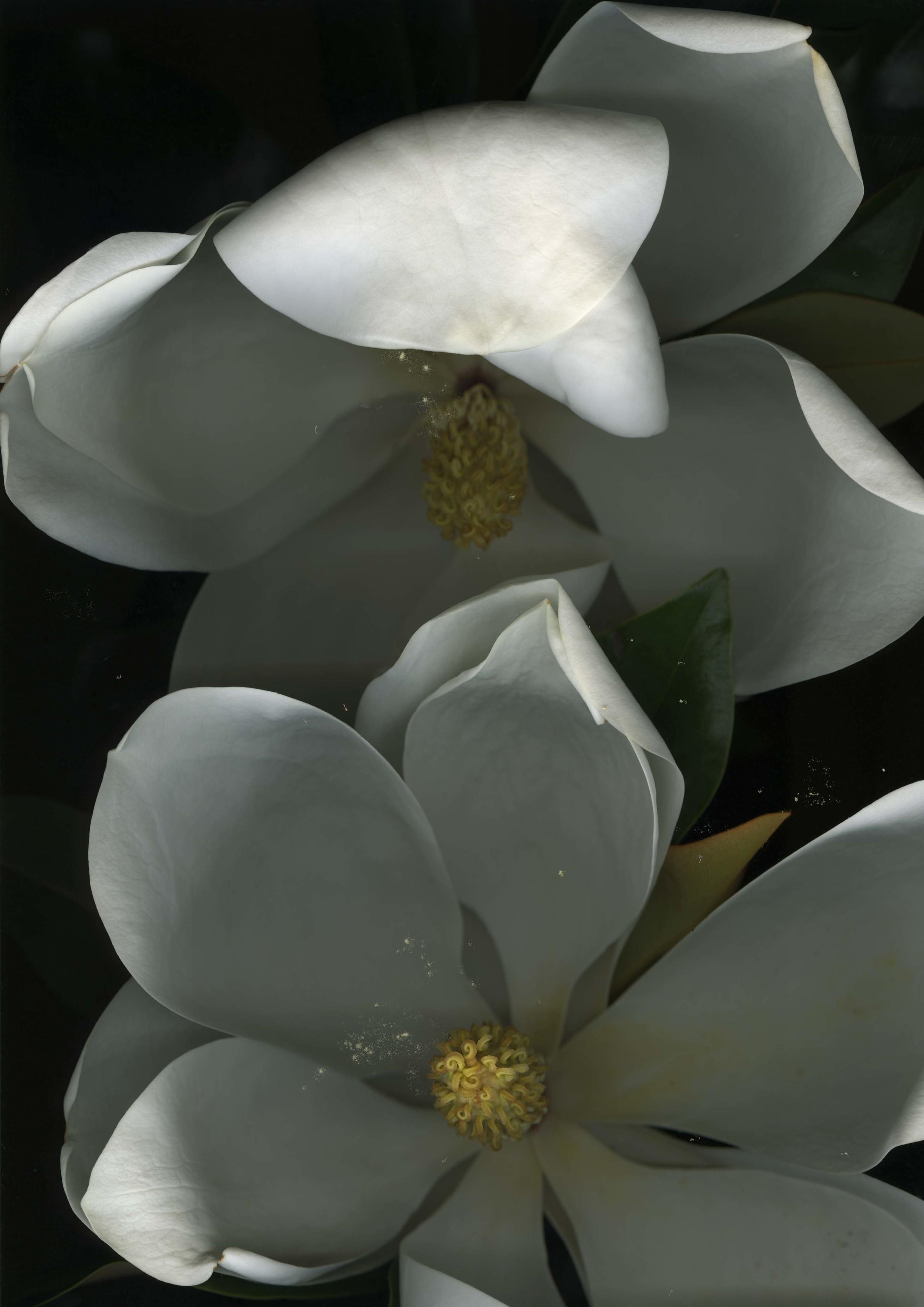 magnolia_2.jpg