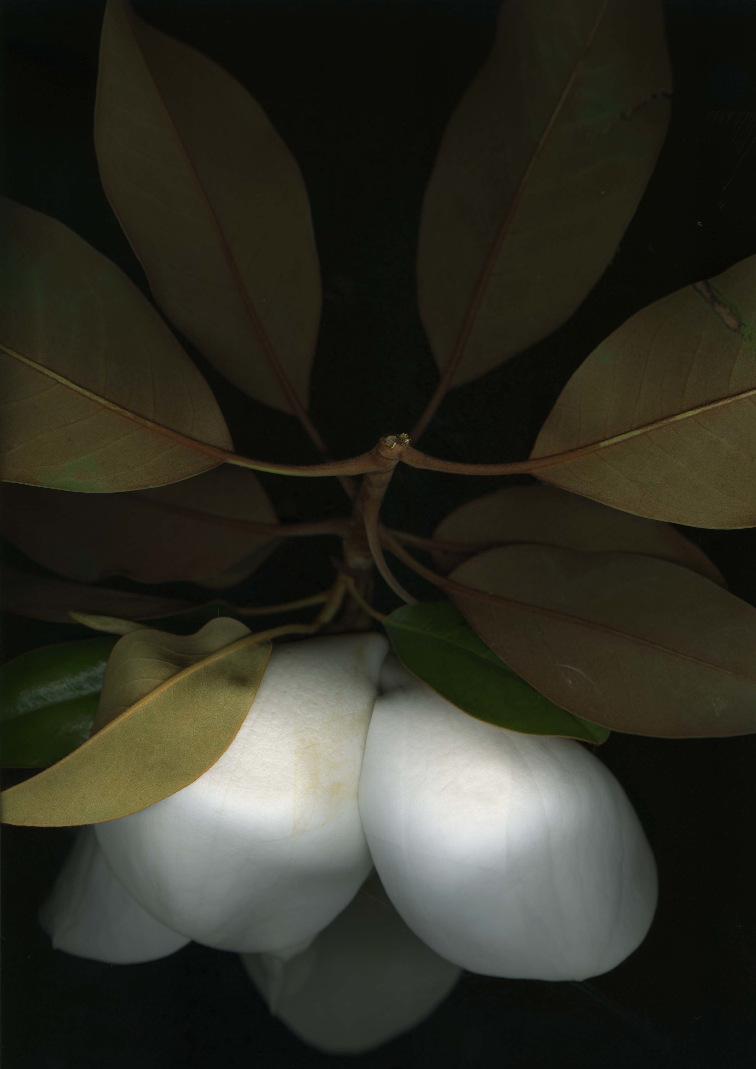magnolia_4.jpg