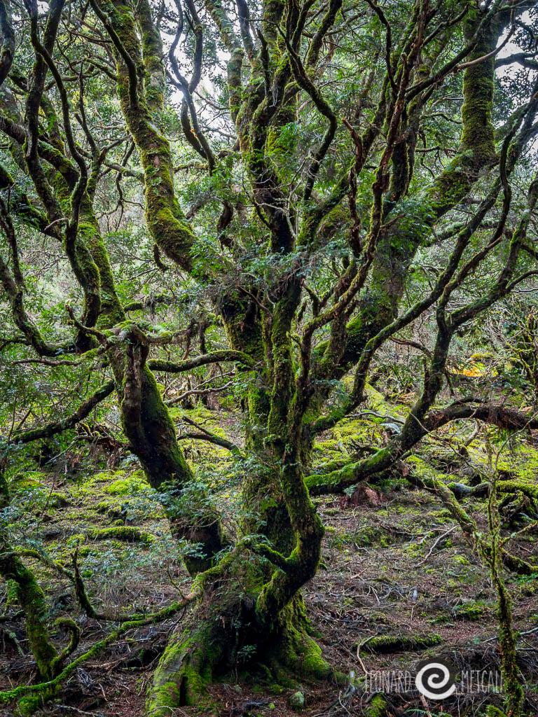 Enchanted tree in the enchanted forrest. Cradle Mountain, Tasmania © Leonard Metcalf 2013