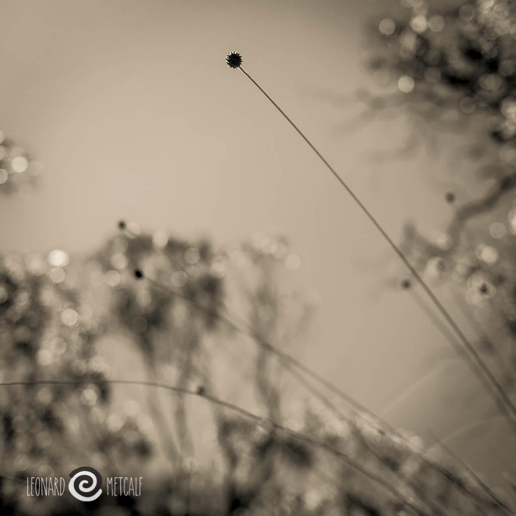 Button Grass, The Blue Mountains