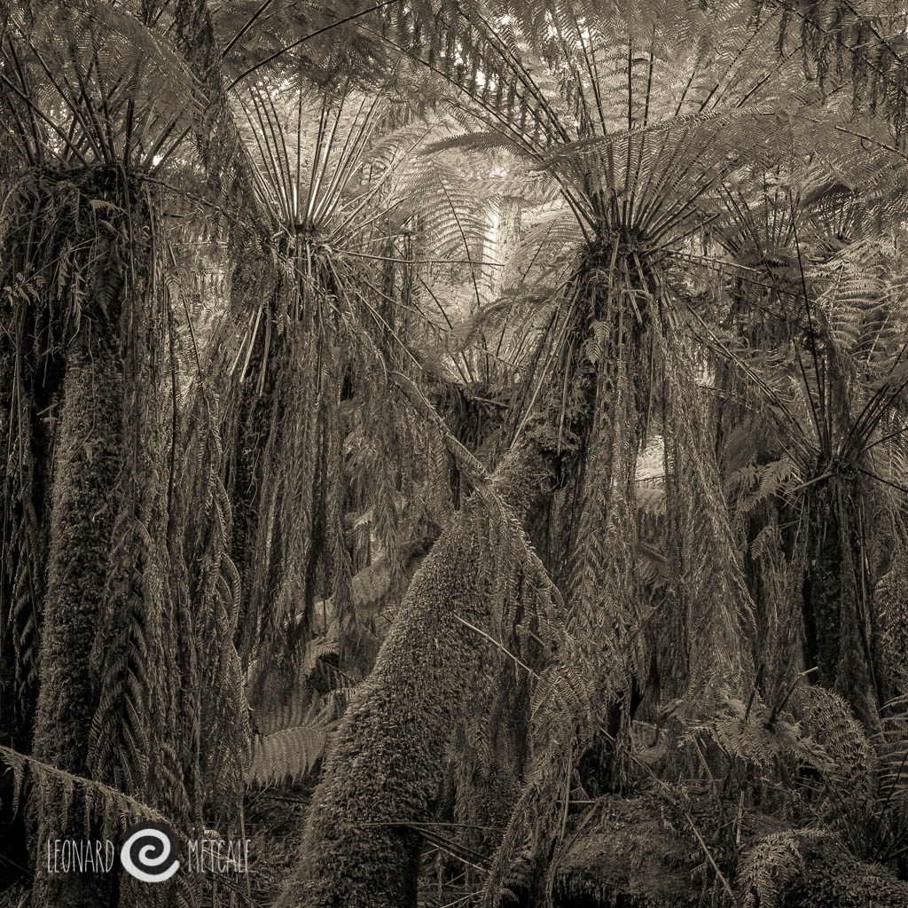 Man Ferns, The Tarkine WIlderness, Tasmania - © Leonard Metcalf 2014