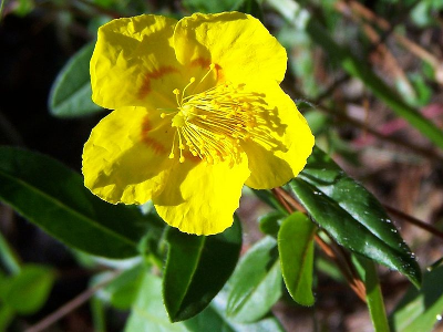 Rock Rose - Used to as a remedy after the experience of panic. An ingredient in Rescue Remedy.
