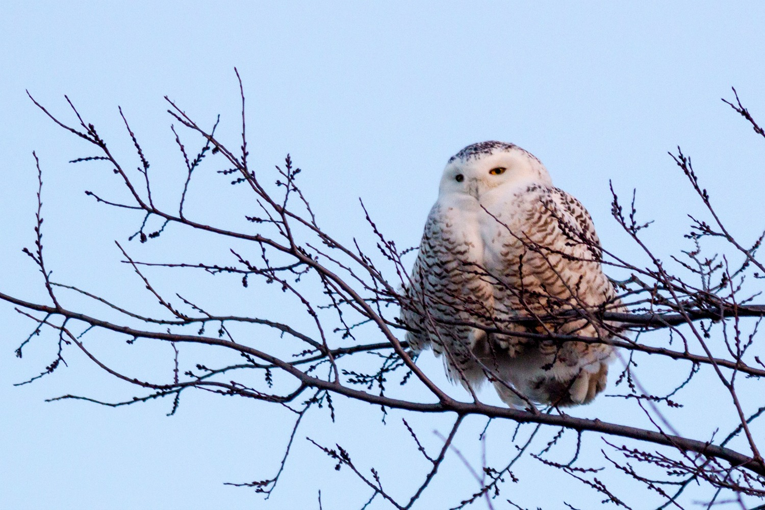 Snowy Owl Perched on a Branch