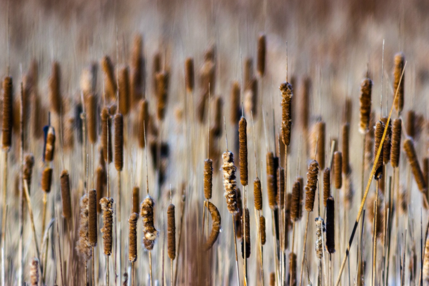 A Field of Cattails in the Winter