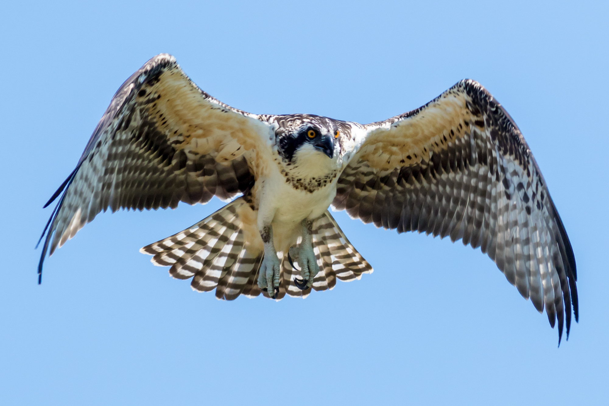 Young Osprey in Flight Over the River
