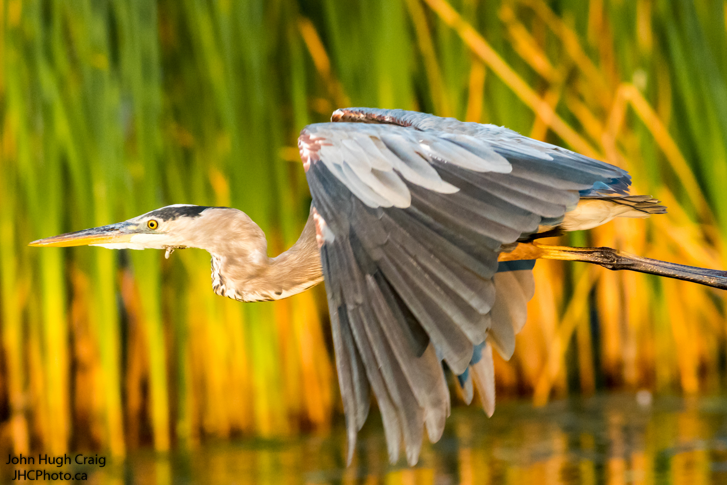 Great Blue Heron at Day Break on the River Bank