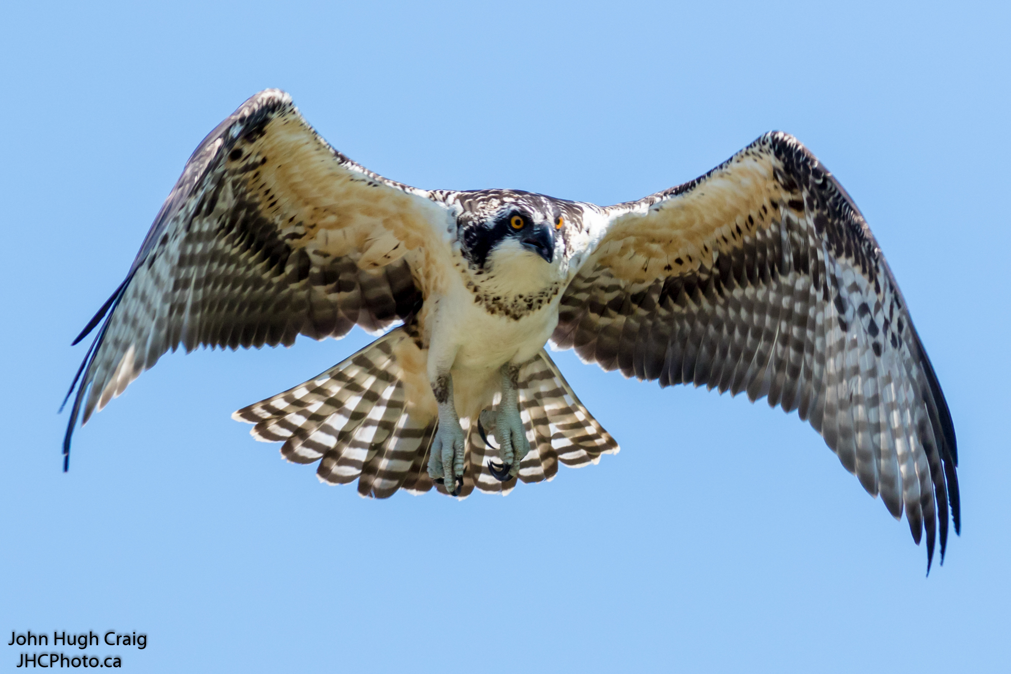 Osprey in Flight!