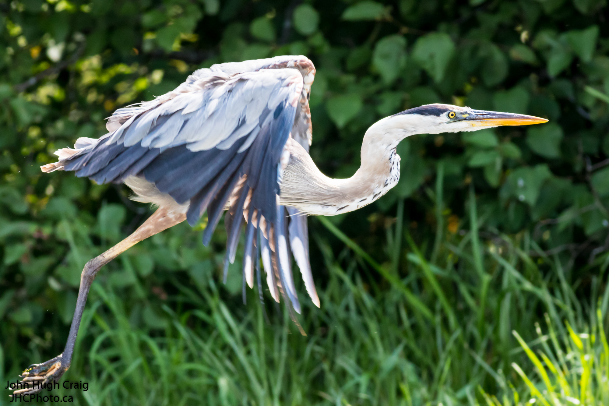 Great Blue Heron in Flight!