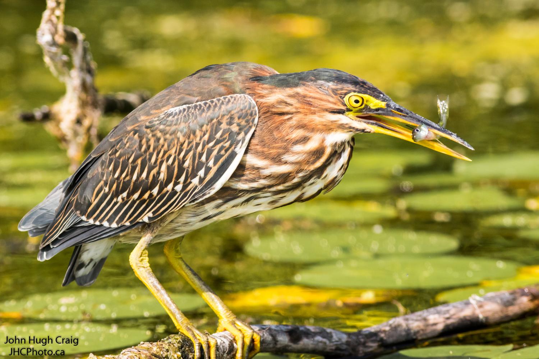Green Heron Fishing on the River Bank