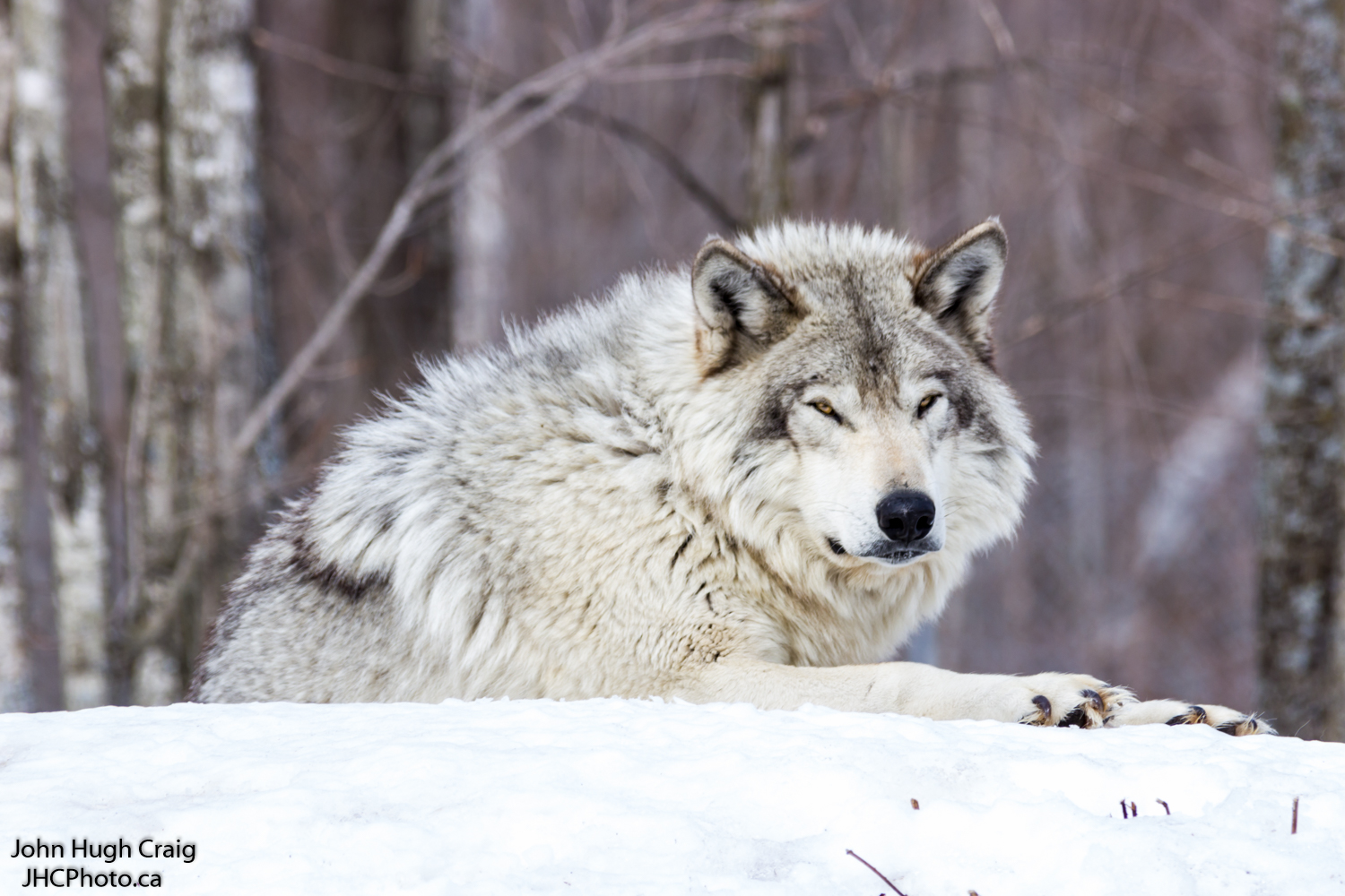 Timber Wolf in the Snow