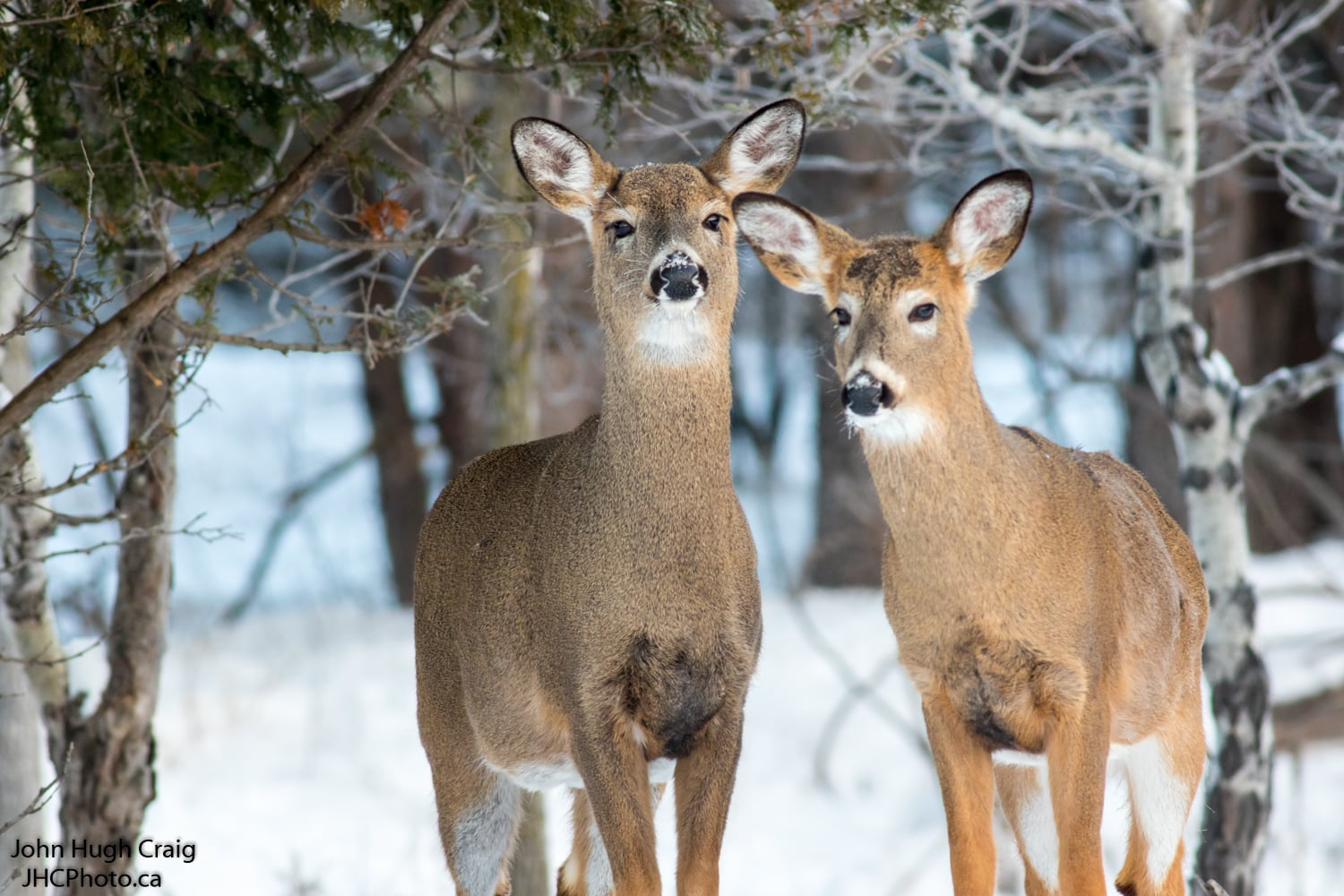 Two Young Whitetail Deer
