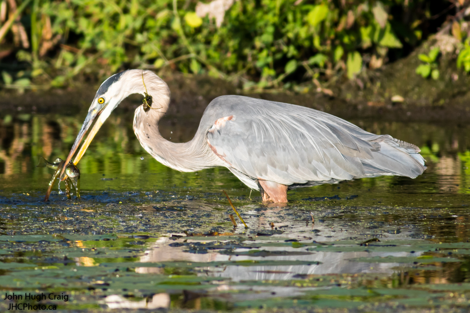Heron's lunch