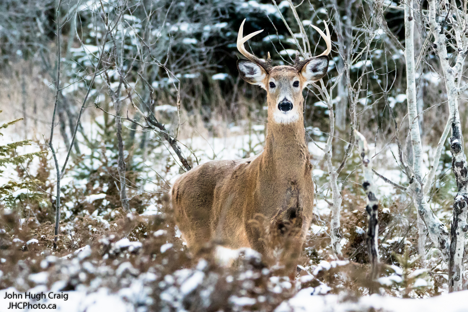 Buck in the Snow 1