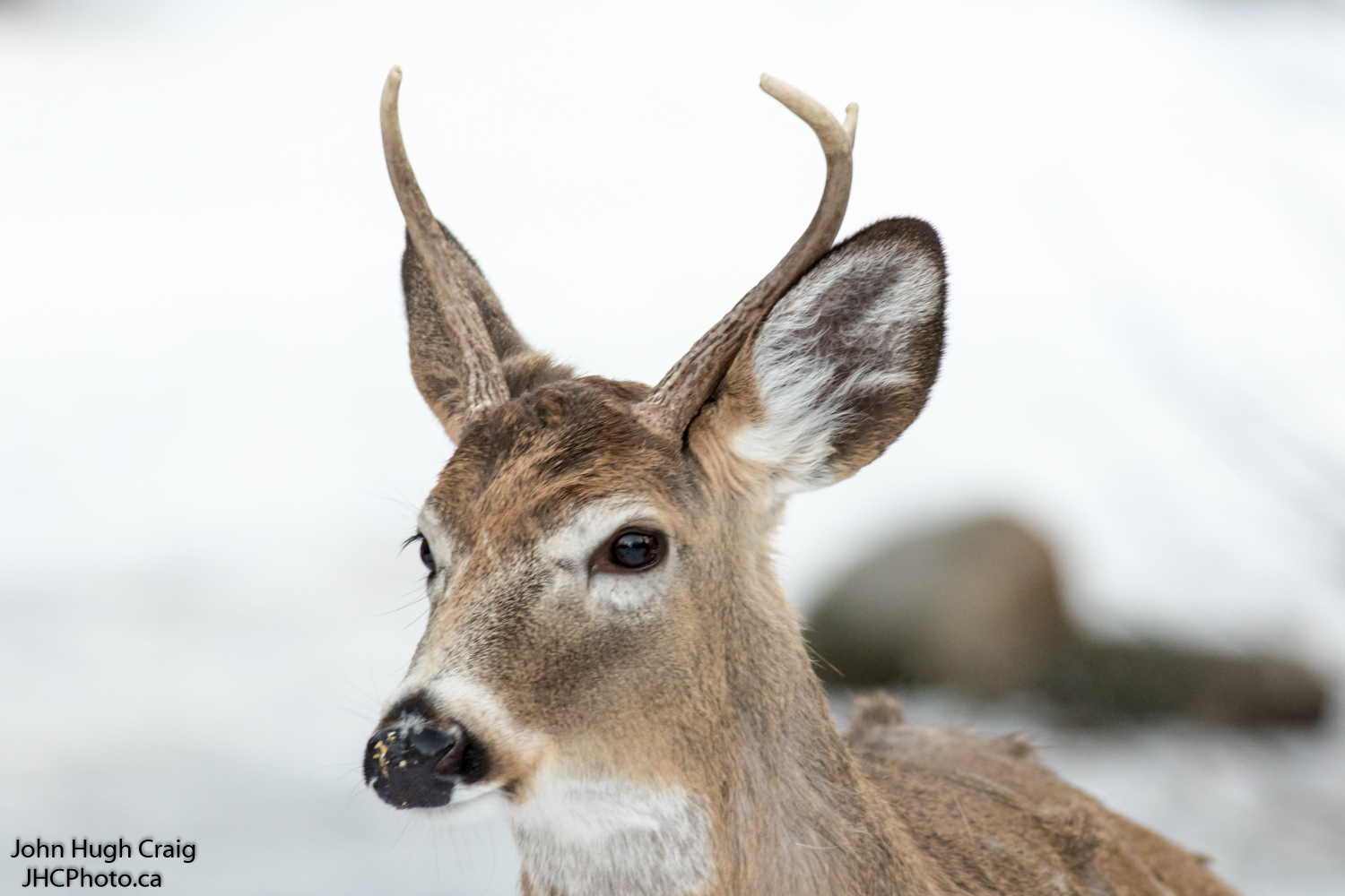 Young Whitetail Buck Deer Close-up