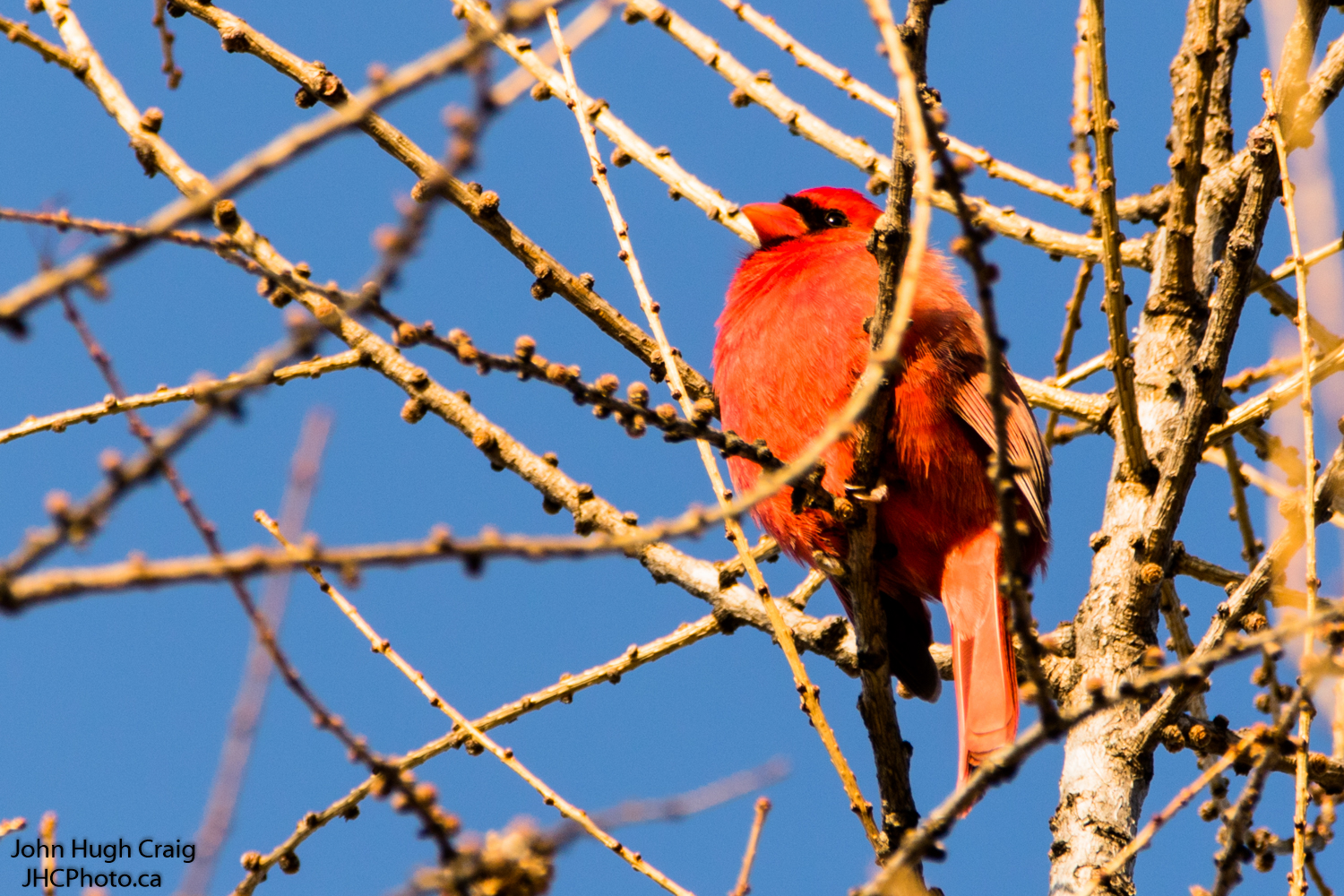 Cardinal in a Tree
