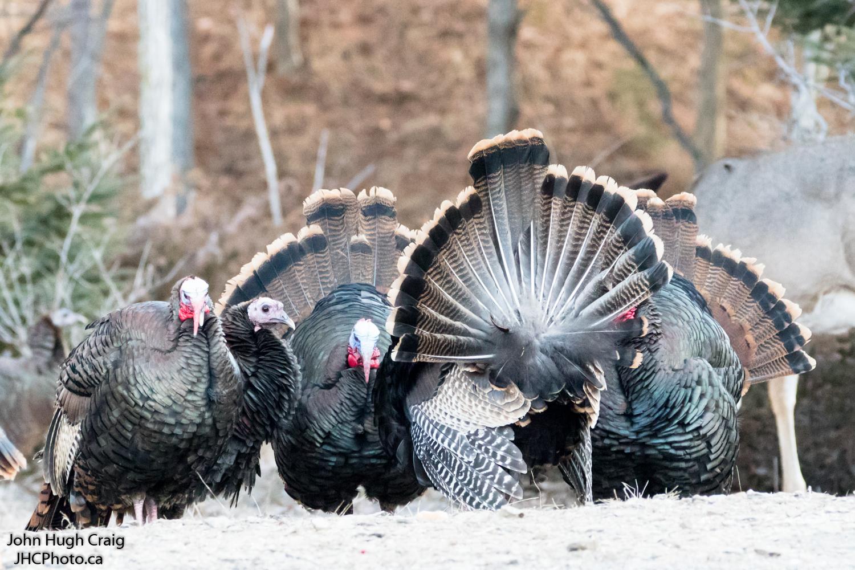 Male Turkeys Strutt Their Stuff