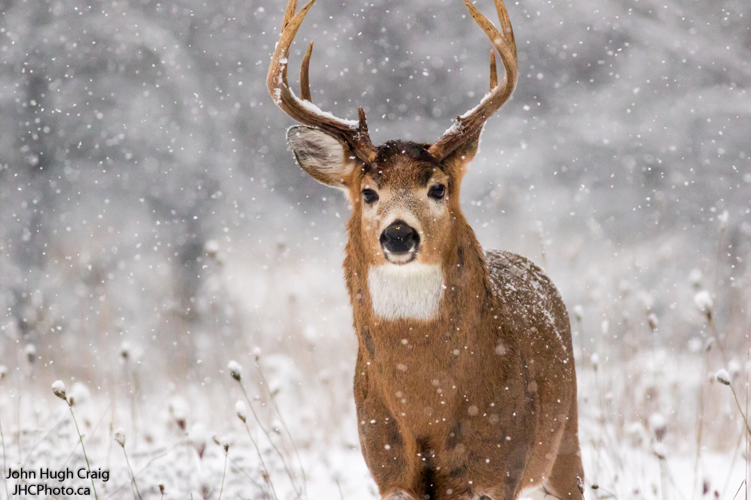 Whitetail Buck Deer in the Snow Storm