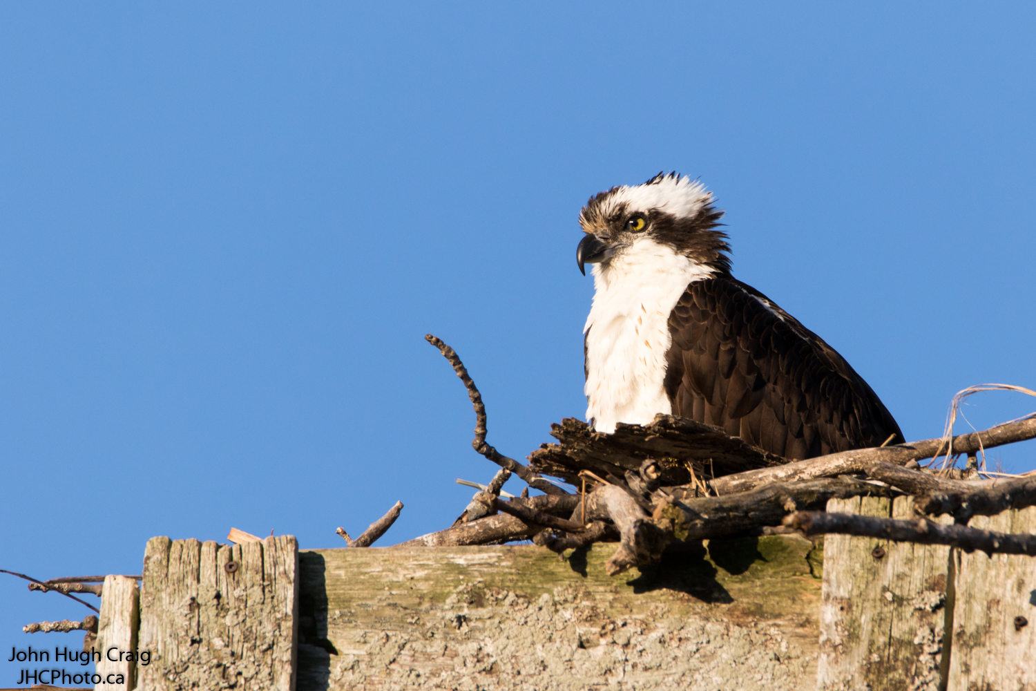 Male Osprey on Nest in the Spring