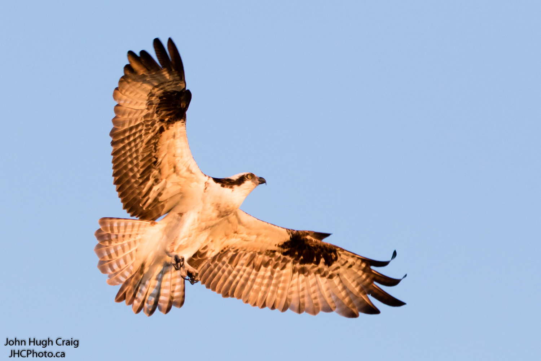 Soaring Osprey in the Evening Light