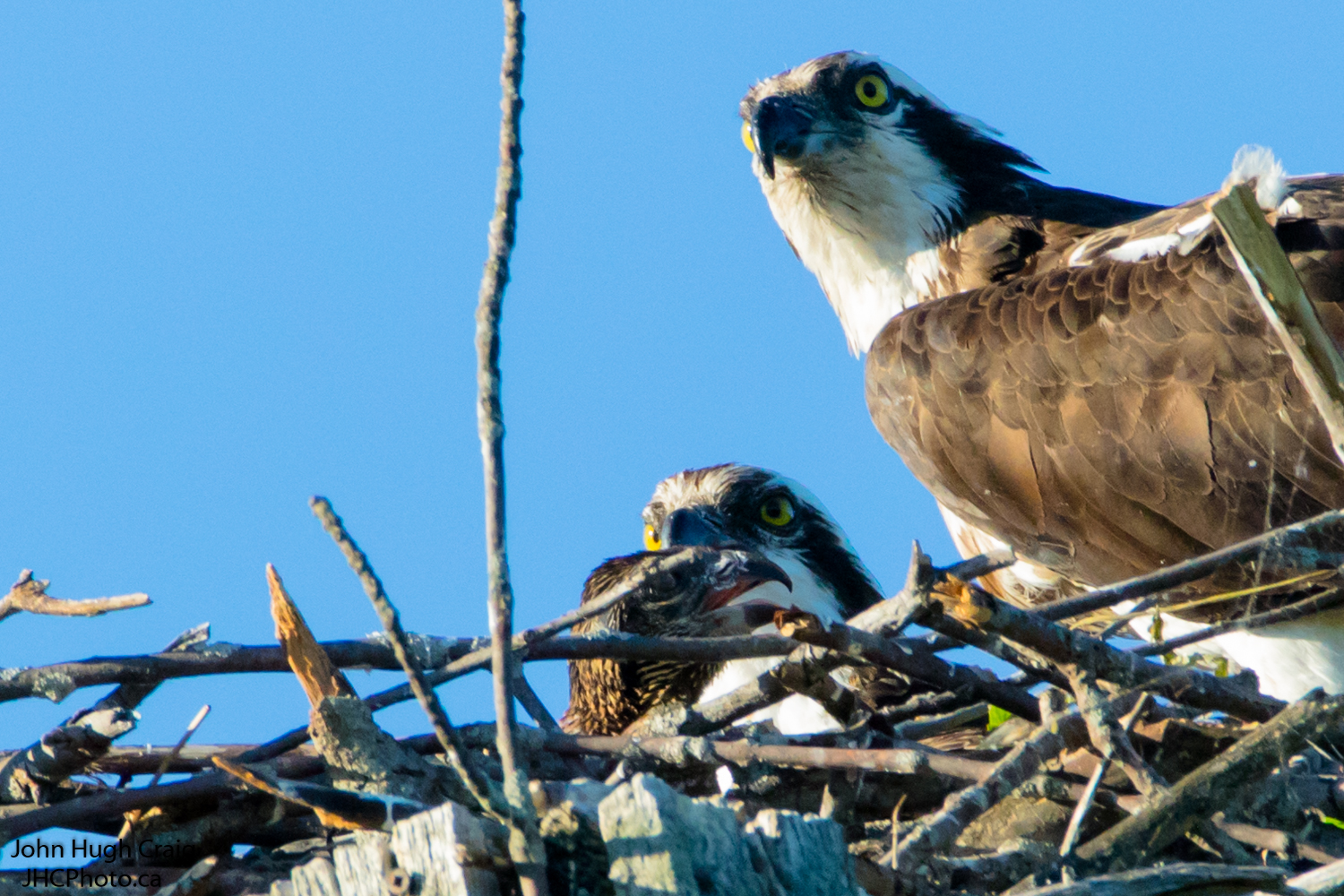 Family of Osprey in the Nest