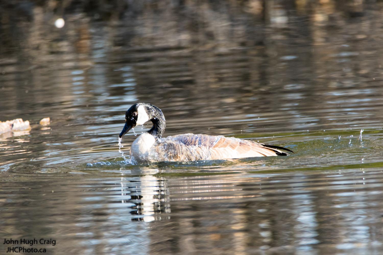 Canada Goose Bath Time 2