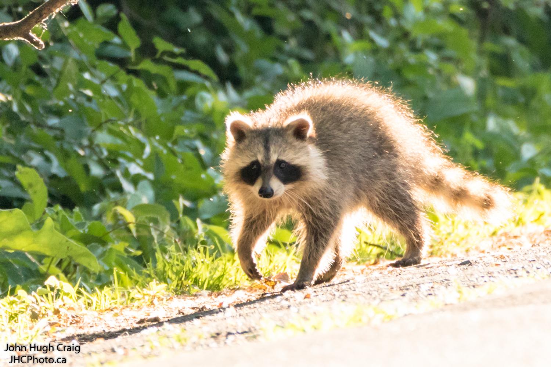 Baby Raccoon Walk