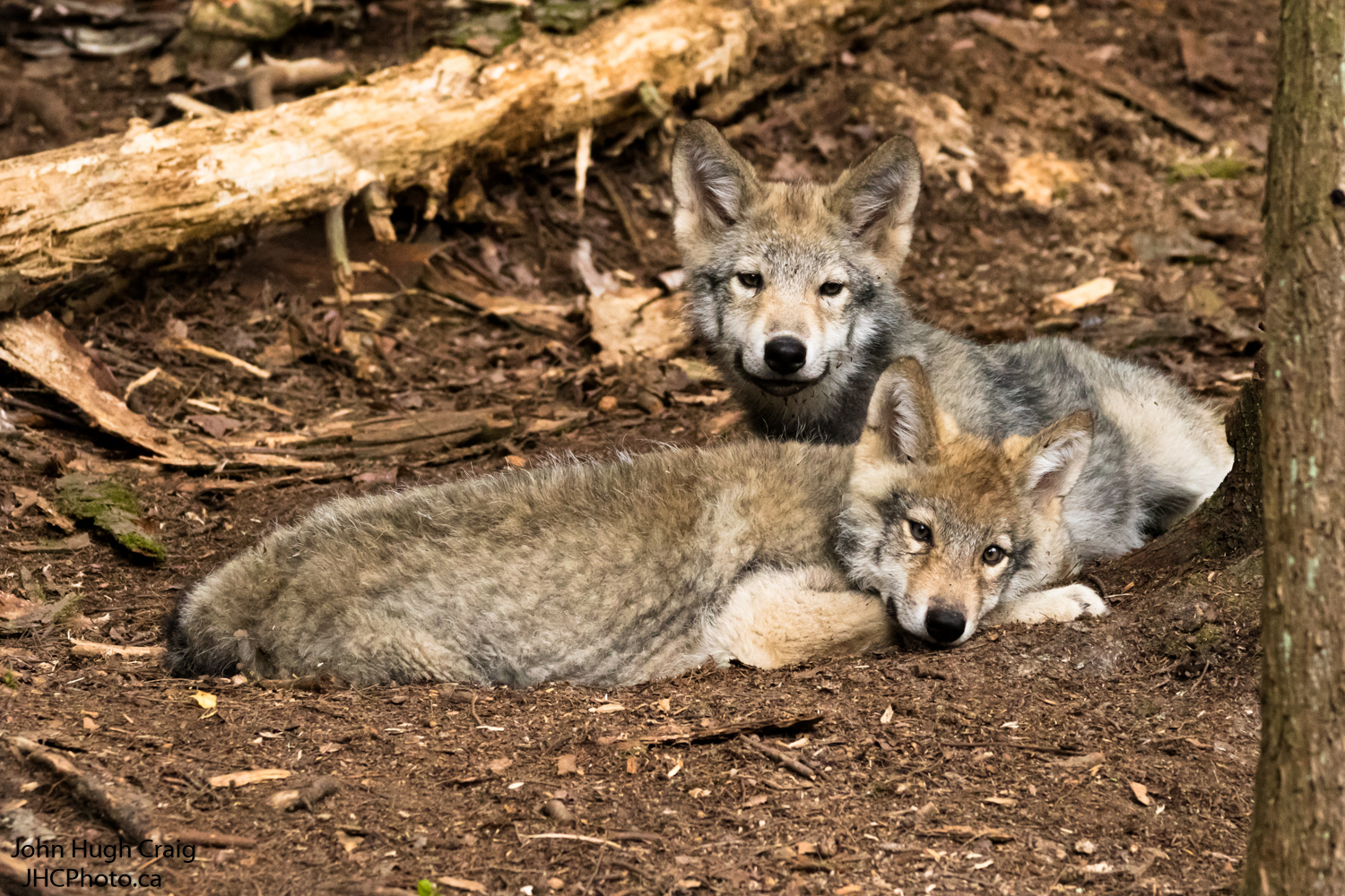 Timber Wolf Pups