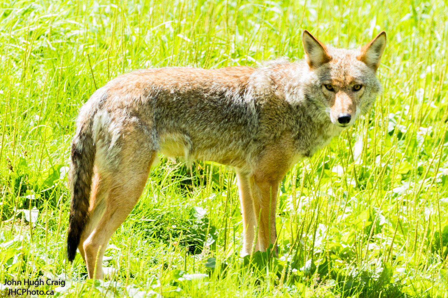 Coyote Share