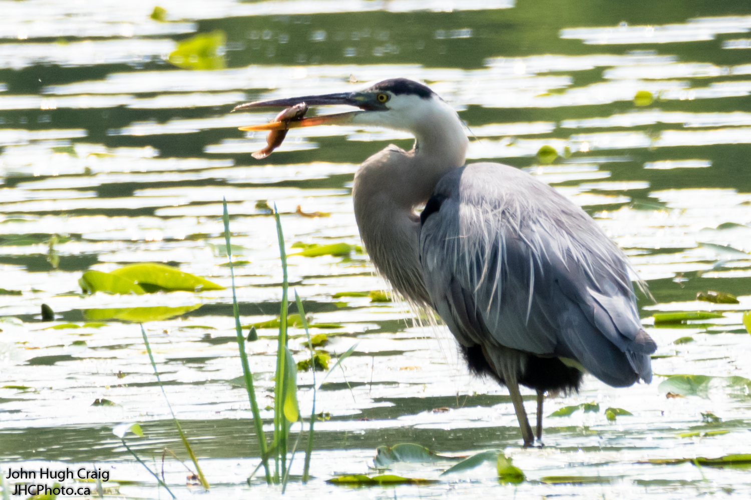 Great Blue Heron Fish Lunch