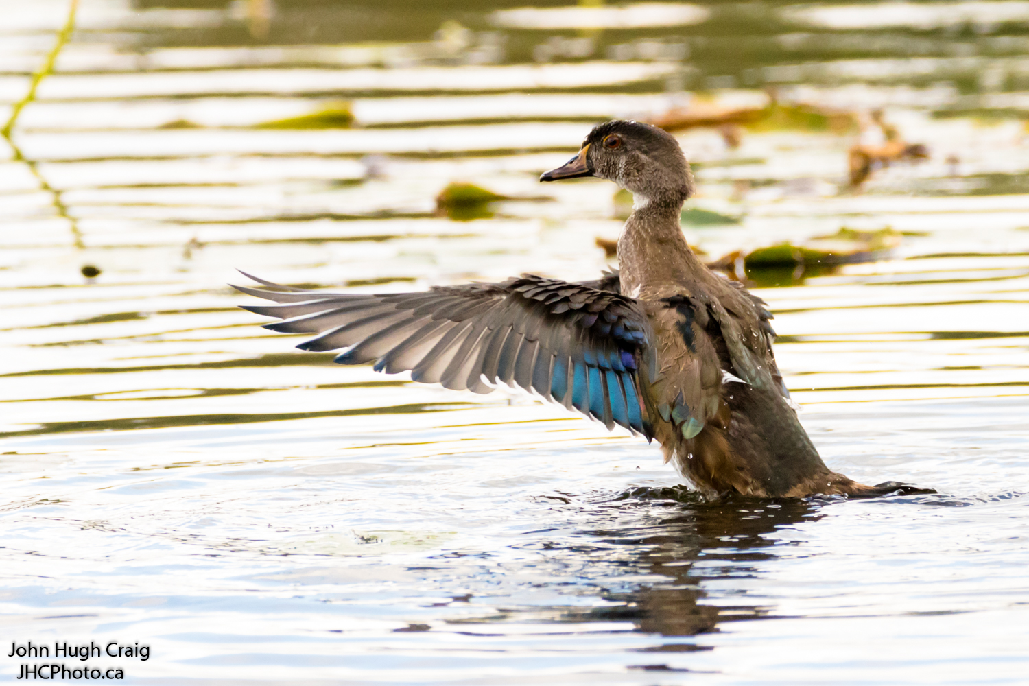 Wood Duck Stretching His Wings