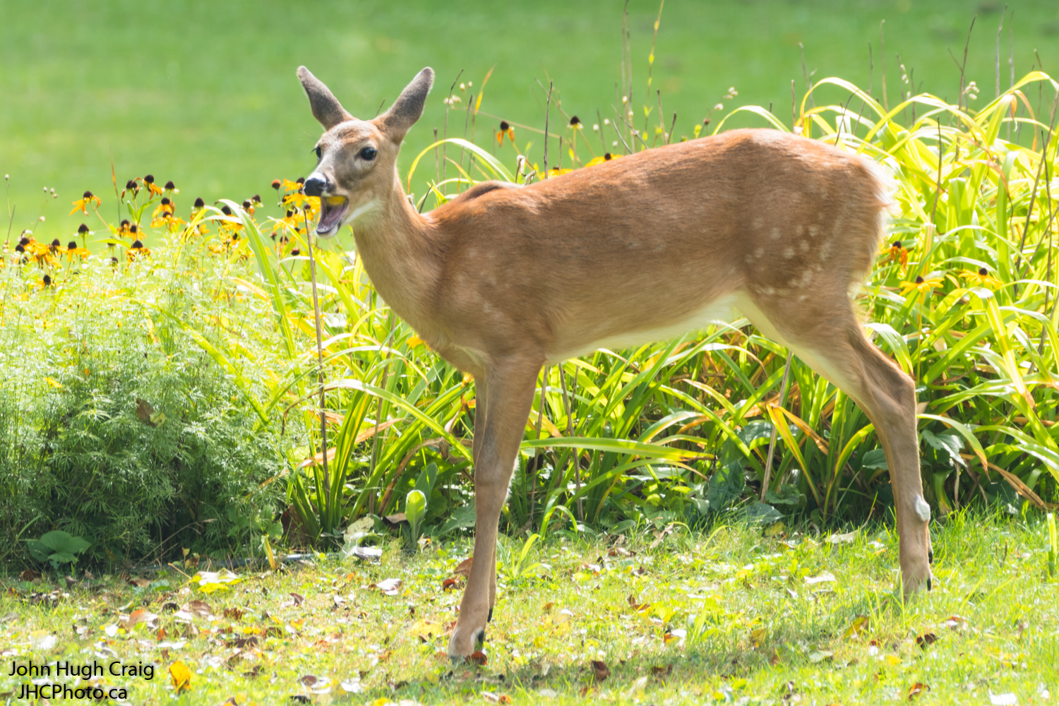 Whitetail Fawn Eating Apples