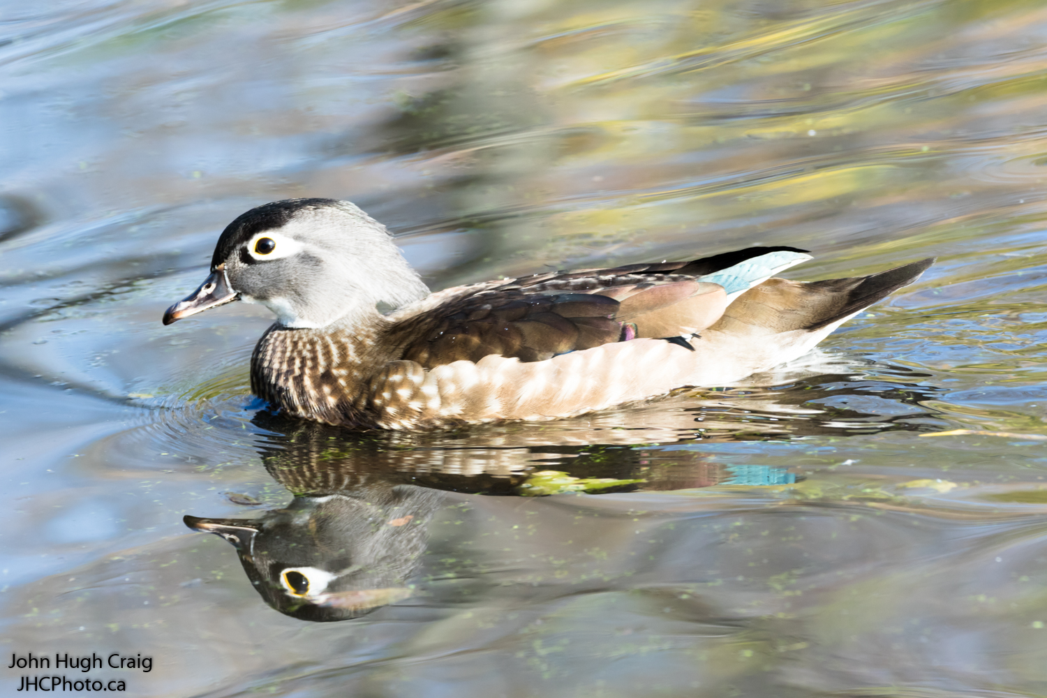 Female Wood Duck Swimming