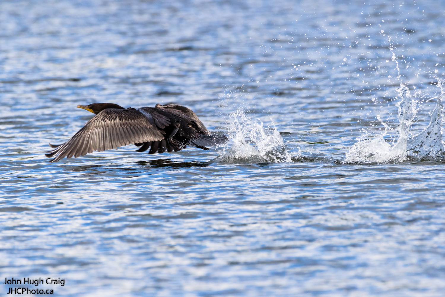 Cormorant Take-Off