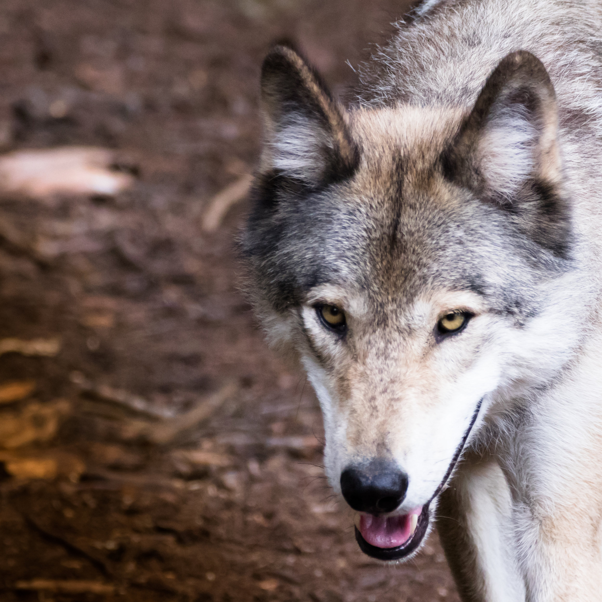 Portrait of a Timber Wolf