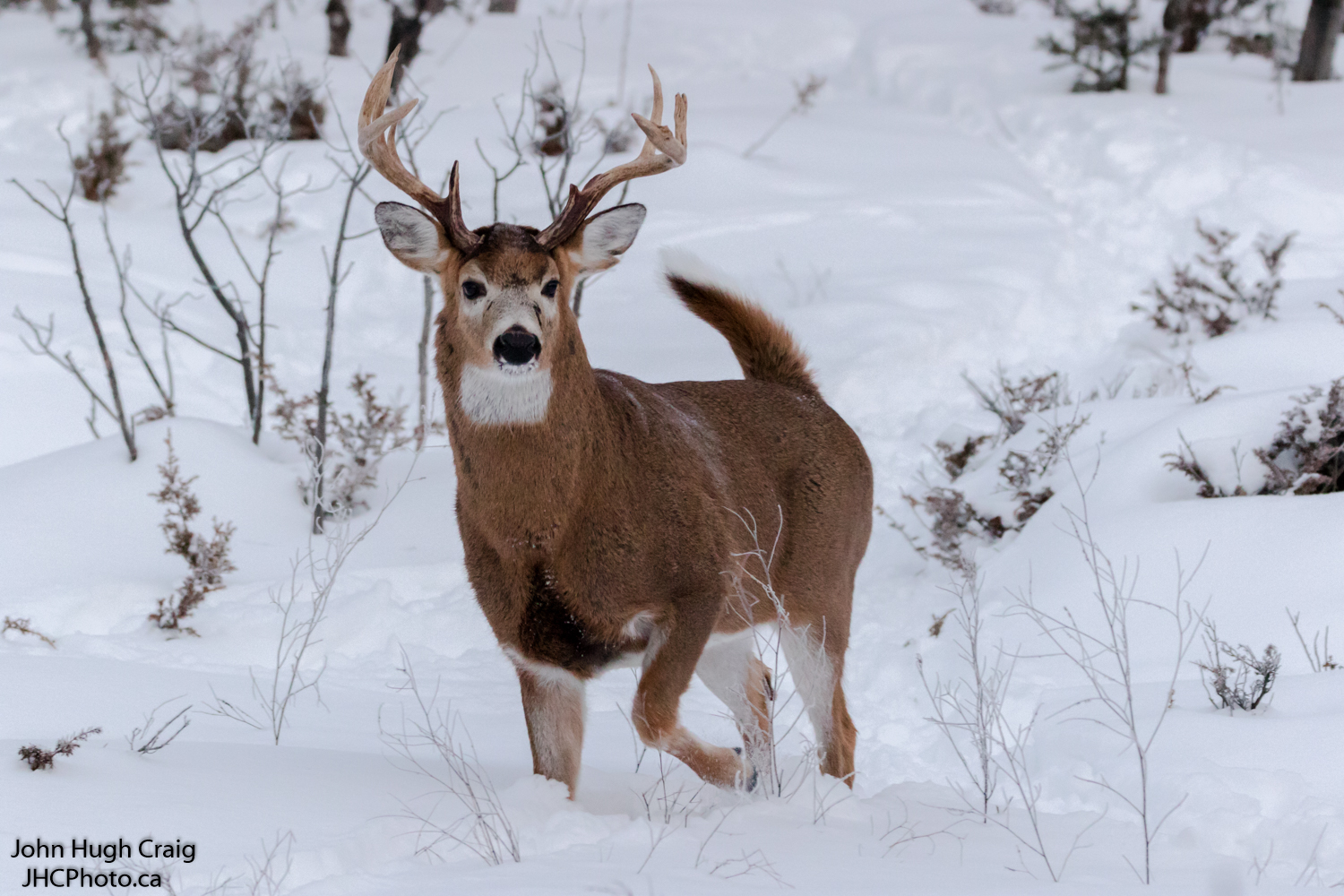 White-Tailed Deer Buck Running Through the Snow