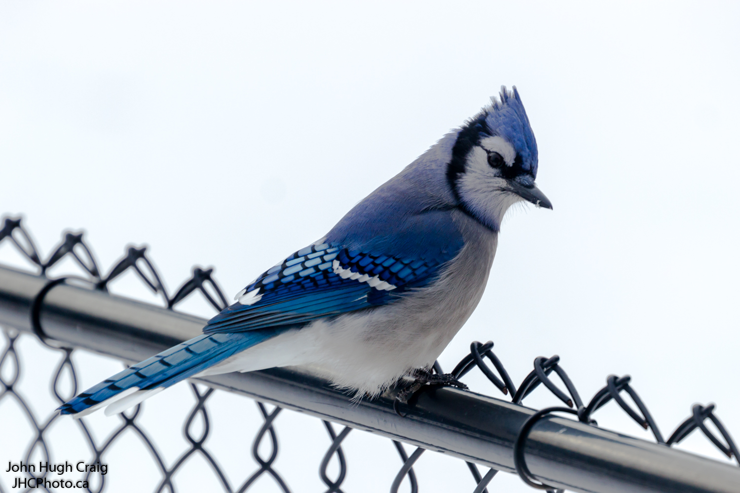 Blue on the Fence
